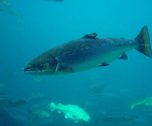 atlantic salmon (wikimedia)