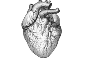 heart diagram shutterstock