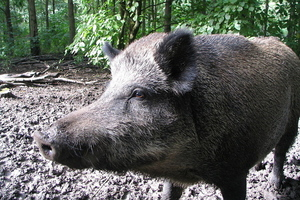 wild boar wikimedia