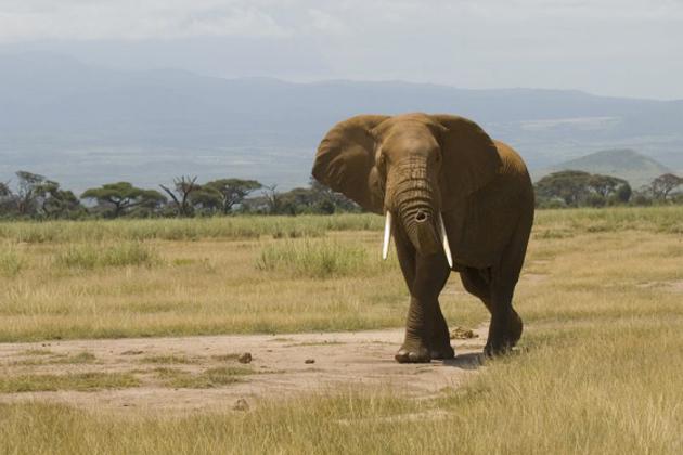 Elephant_large