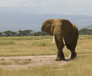 elephant (wikimedia commons)
