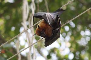 indian flying fox (wikimedia commons)
