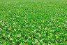 soybean field (press image)