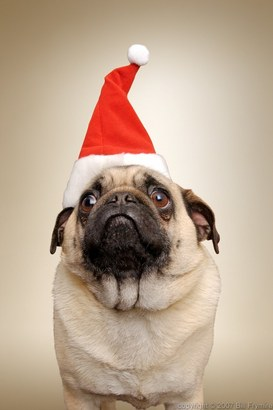 Christmas-dog-pug-santa-hat-1