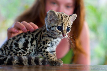 Dwarf-leopard-kitten-21813-1318516068-3_medium