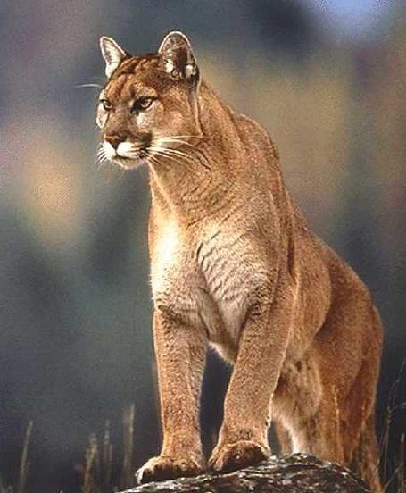 Cougar_medium