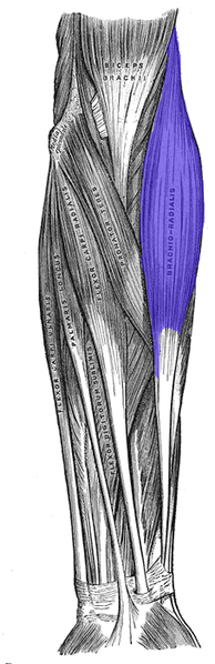 194px-brachioradialis_medium