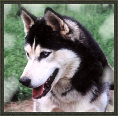 Siberian-husky-siberian-huskies-18776396-486-482_medium