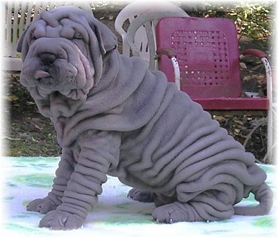 Shar_peis_dogs_medium