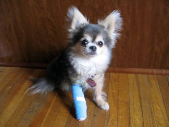 Dog-cast-leg-345kt040610_medium