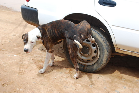 1280px-dog_pissing_on_cars_wheel_medium
