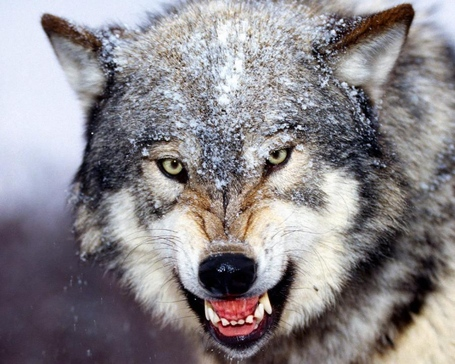 Timberwolf-face-growling_medium