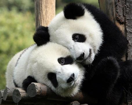 Panda-hug-1280x1024_medium