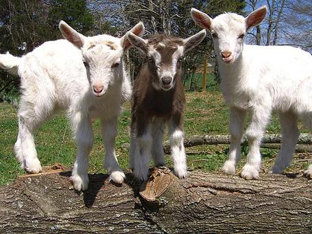 Baby-goats_medium