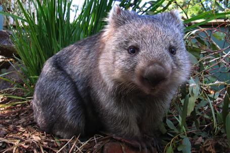 Wombat_medium_zps1b60b01a_medium