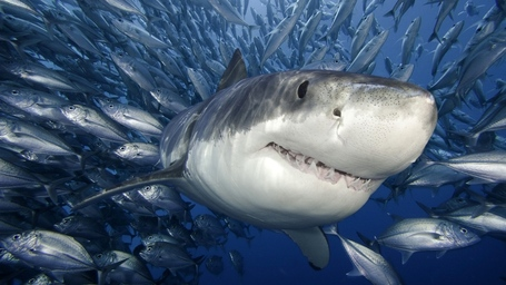 Great-white-shark-picture-roaming-with-fish-hd-wallpaper_medium