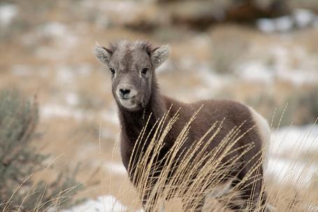 Baby-bighorn-sheep-m_medium
