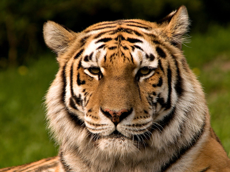 Siberischer_tiger_de_edit02_medium