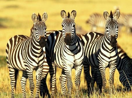 Burchells_zebras_masai_mara_kenya-normal_medium