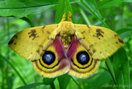 Io-moth-1-large_medium
