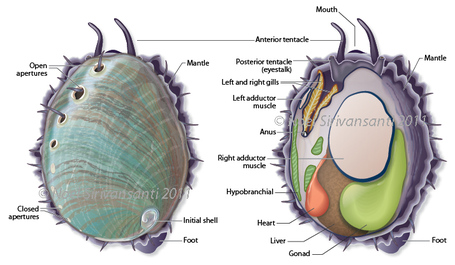 Abalone_anatomy_medium