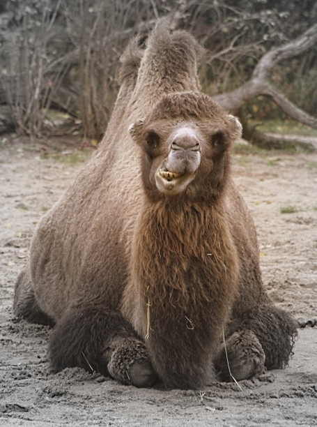 Funny_bactrian_camel_by_schokokekschen-d31y8xz_medium