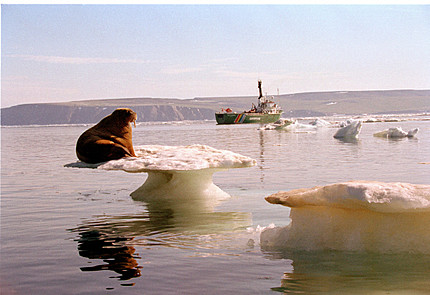 Walrus-on-ice-floe-greenpeace_medium