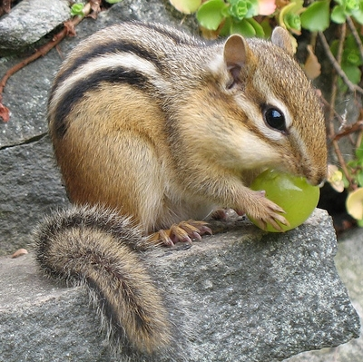 Chipmunk_medium