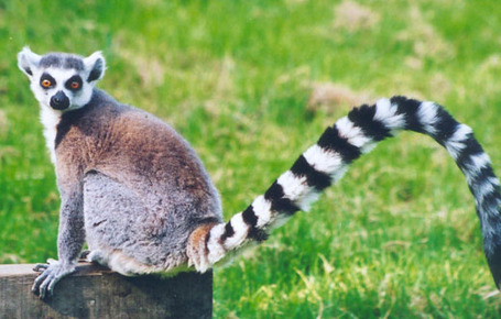 Ring-tailed-lemur_medium
