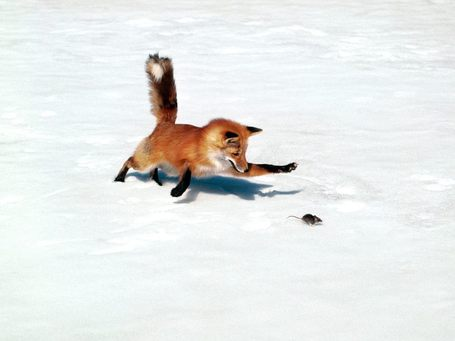 Chasing-a-snack-red-fox_medium