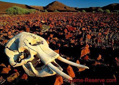 desert_elephant_skull_da