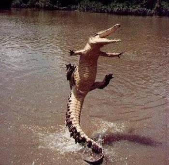 alligator_jumps