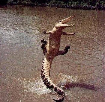 alligator_jumps