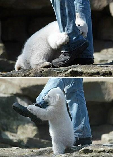 Polar_bear_attack_1_medium
