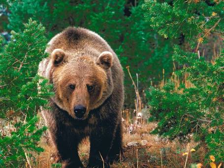 Forest_wild_grizzly_bear-1600x1200_medium