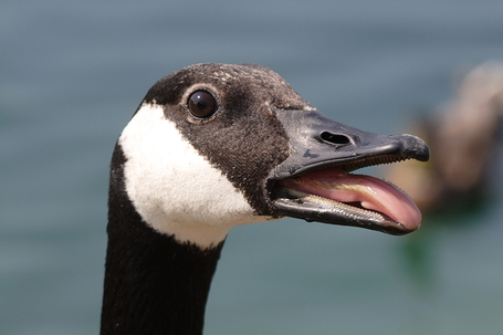 Canada_goose_head_detail1_medium