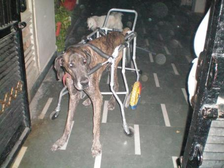 1267962198_78904219_1-innovative-dog-cart-for-handicapped-disabled-hind-leg-paralyzed-pet-in-india-asalatnagar_medium