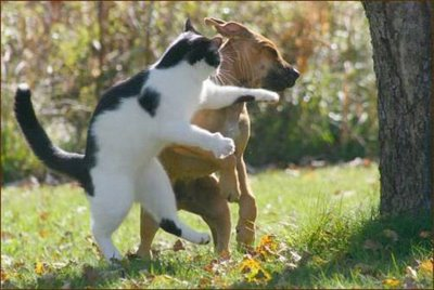 Cat-fight-a-dog_medium