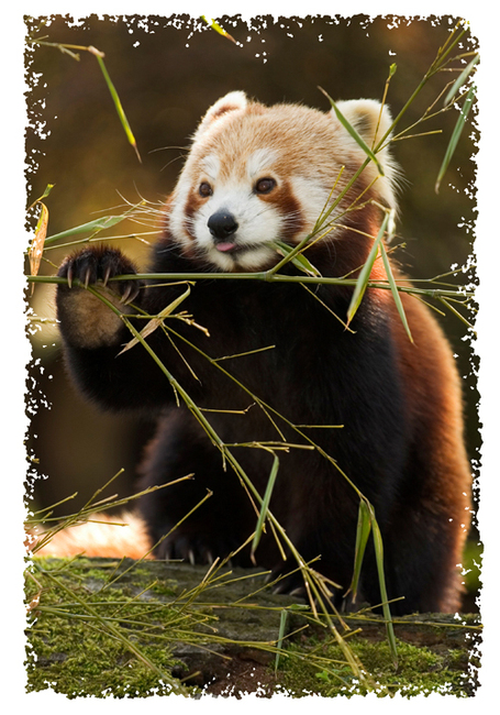 Animalfact_redpanda_medium