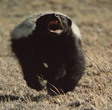 Must-watch-honey-badger-the-most-fearless-animal-on-earth-_medium