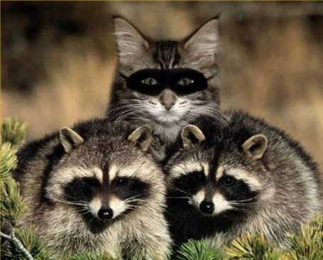 The-great-raccoon-imposter_medium
