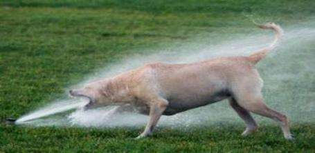 Dog_and_sprinkler-758x370_medium