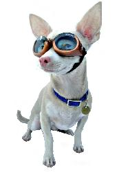 Doggles_small_dog_small_pic_medium