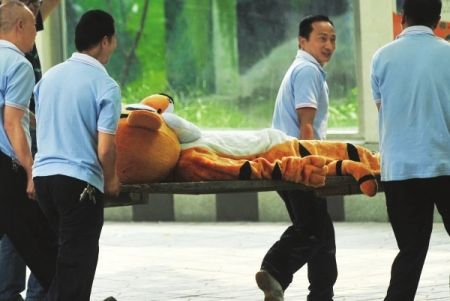 China-chengdu-zoo-escaped-tiger-drill-tigger-10_medium
