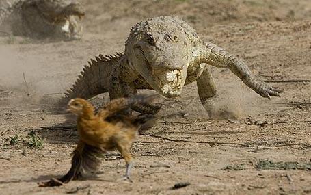 Croc-chasing-chick_1113592c_medium
