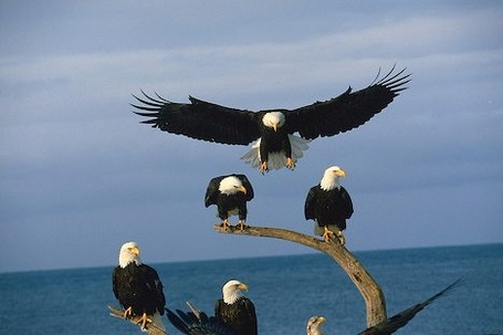 Mature-bald-eagle-group_847_medium