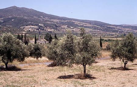 Olive-trees_medium