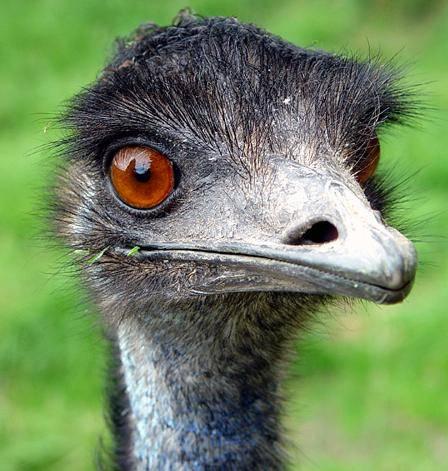 Emu5_medium