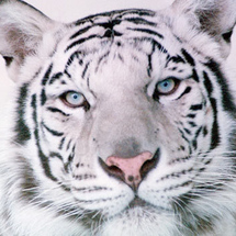 White_tiger_saul