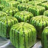 Square-watermelon